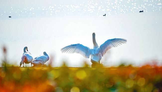 北龙湖天鹅宝宝 在郑州的第一个冬天