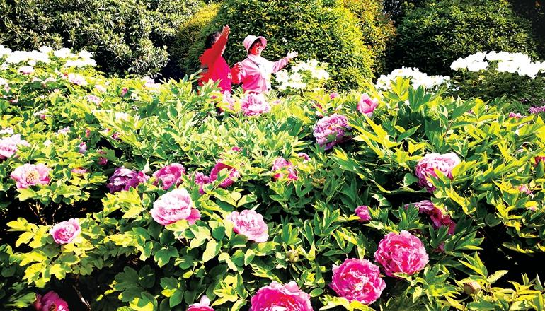郑州植物园4万株牡丹等您来赏