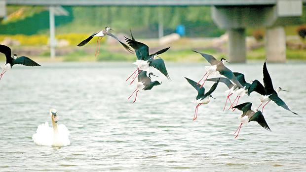 """贾鲁河天鹅有了新邻居,""""红腿娘子""""翩翩飞"""